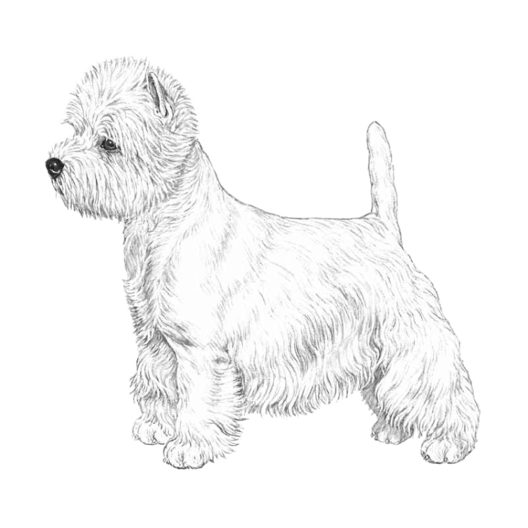 west-highland-white-terrier-800x800-fci085.png