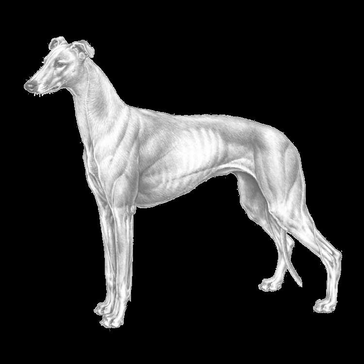 greyhound-800x800-fci158.png