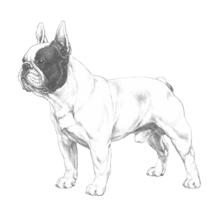 french-bulldog-800x800-fci101.png