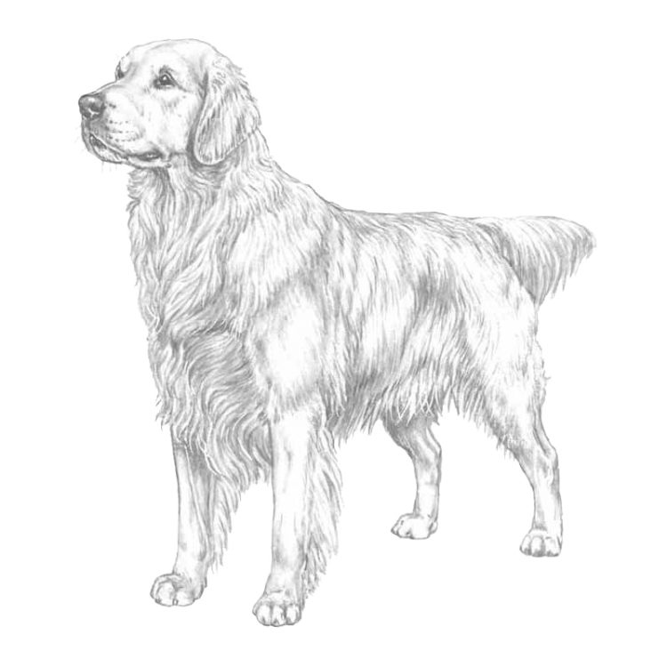 golden-retriever-800x800-fci111.png