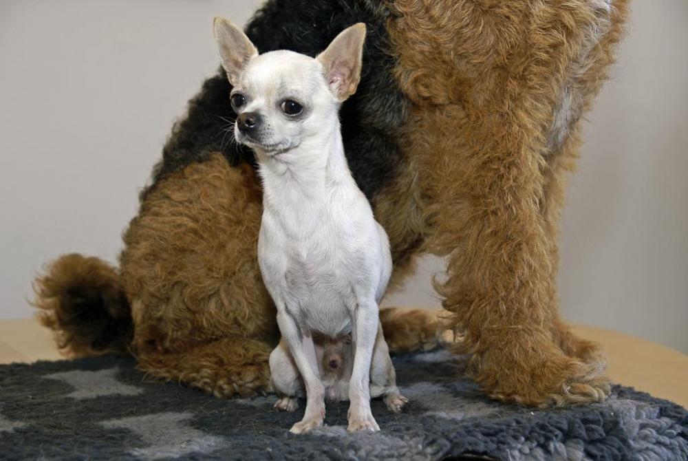 Chihuahua o airedaleterrier_lobe_02-fix.jpg