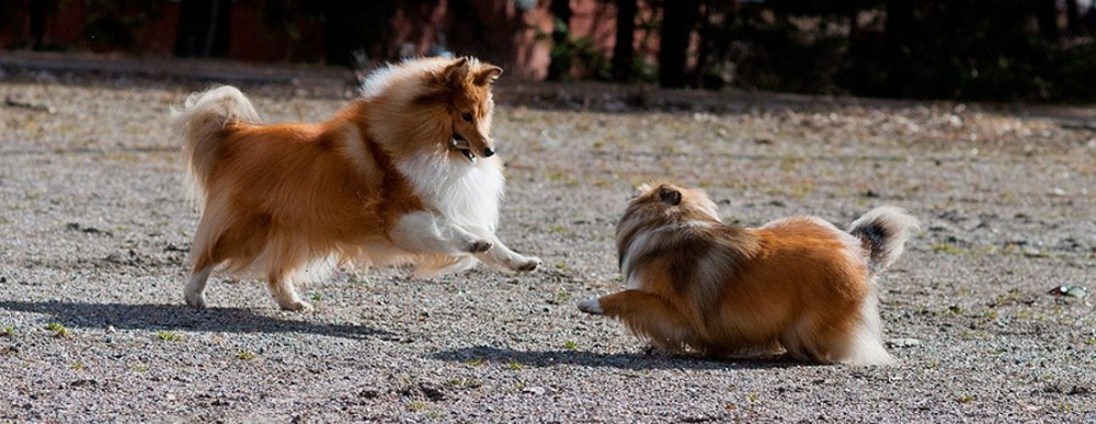 two shelties.png