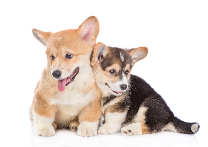 welsh-corgi-pups.png